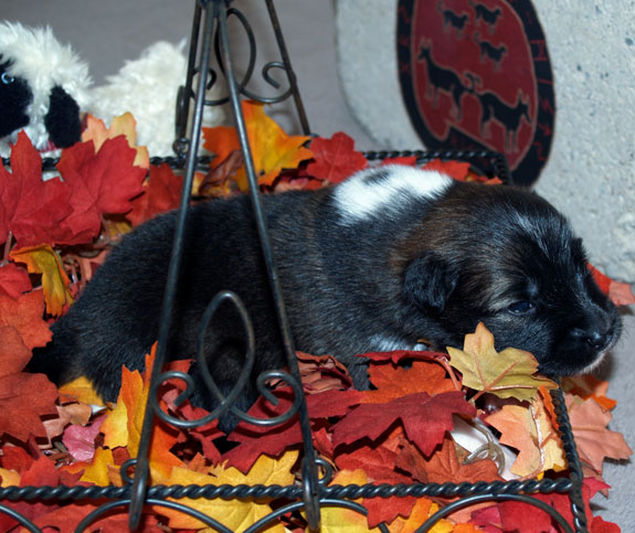 Pup 3 - 14 days old